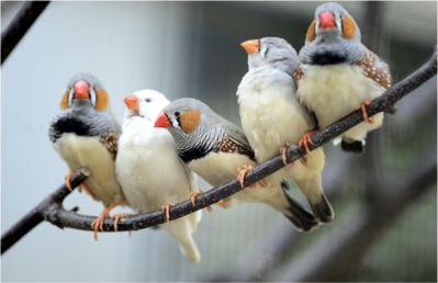 5 Zebra Finches on a branch